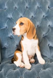 beagles 4 months-6