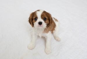 cavalier babies 7 weeks-10
