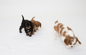 cavalier babies 7 weeks-13