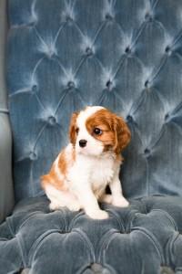 cavalier babies 7 weeks-27