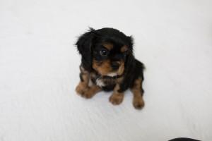 cavalier babies 7 weeks-7