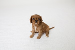 cavalier babies 7 weeks-9