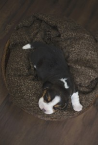 beagle 1 week-13