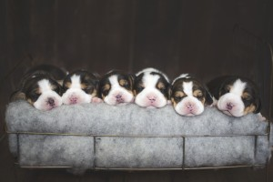 beagle 1 week-2