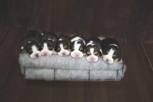 beagle 1 week-3