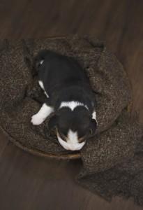 beagle 1 week-30