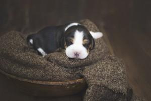 beagle 1 week-31