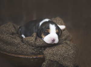beagle 1 week-32