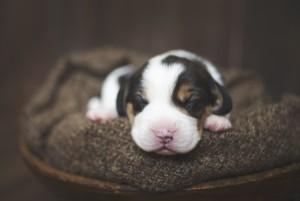 beagle 1 week-39