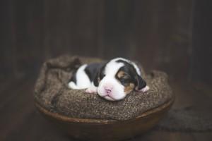 beagle 1 week-41