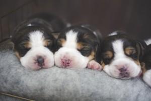 beagle 1 week-7
